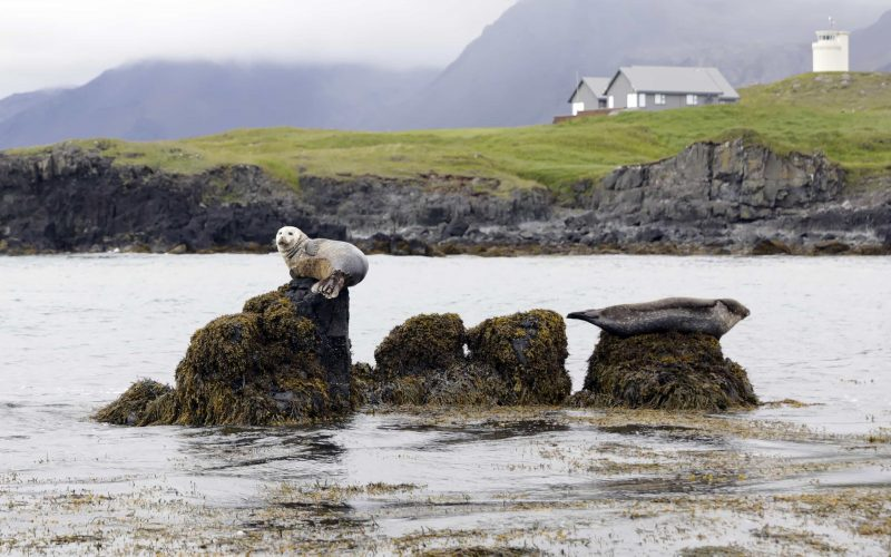 Ytri Tunga seal colony in Snæfellsnes Peninsula