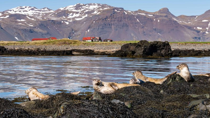 Ytri Tunga seal colony - Snæfellsnes Peninsula