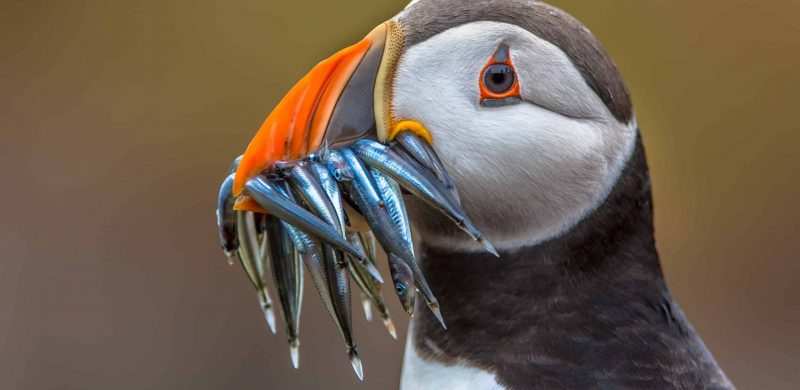 puffin eating fish in Iceland