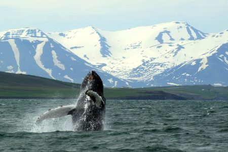 Whale Watching in Akureyri north Iceland