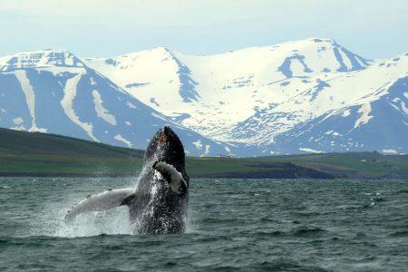 Whale Watching in Akureyri north Iceland