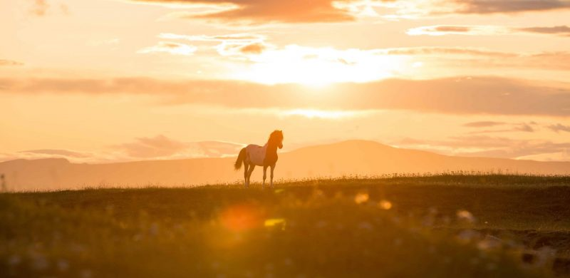 Icelandic horse during midnight sun sunset