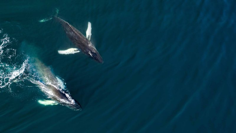 iceland whales (3)