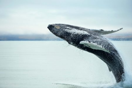 Whale Watching in Icelan