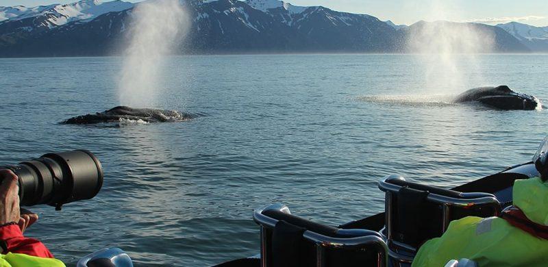 RIB speed boat whale watching tour in Húsavík